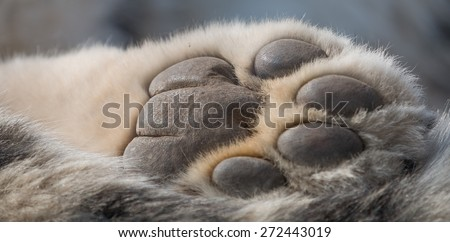 Detailed closeup shot of a Snow Leopard's paw from underneath, showing skin and fur of the predator - stock photo