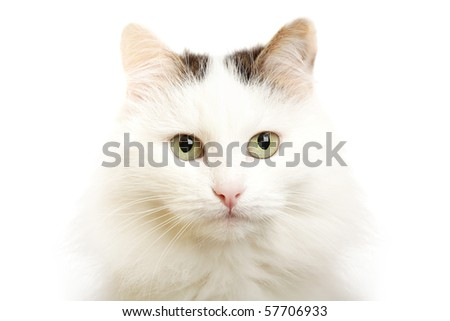 Detailed closeup shot of a stunningly beautiful cat in studio - stock photo