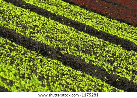 Detailed diagonal view of green and red leaf lettuce rows. - stock photo