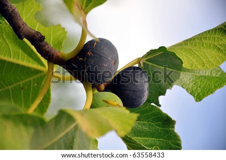 Detailed image of a bunch of figs on a tree. - stock photo