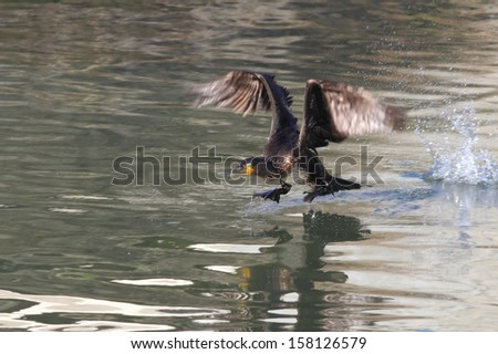 Detailed image of a cormorant taking off on the Douro River in Porto, Portugal - stock photo