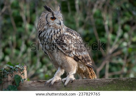 Detailed landscape photograph of an eagle owl showing the bird in profile looking to the right. Detailed feathers, eye and beak set against a natural out of focus background. perched on a fence - stock photo