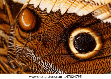 Detailed macro of tropical butterfly wing (Caligo) - stock photo