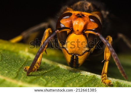 Detailed macro photography of insect hornet. - stock photo