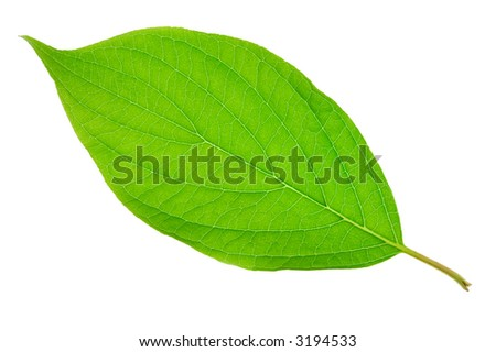 Detailed macro shot of a green leaf, isolated on white