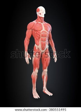 Detailed muscle human anatomy illustration
