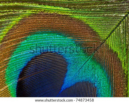 Detailed photo of a beautiful vivid peacock feather - stock photo