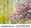 Detailed photo of a bunch of bright japanese cherry blossom flowers in Washington DC against weeping willow to give warm floral image - stock photo