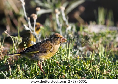Detailed photo of a greenfinch eating the grass - stock photo
