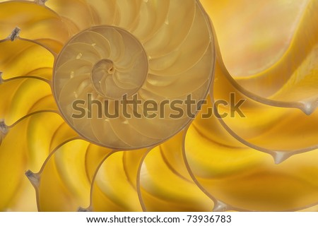 Detailed photo of a halved backlit  shell of a chambered nautilus (Nautilus pompilius)