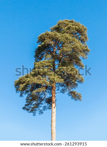 Detailed photo of European pine tree over blue sky background - stock photo