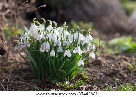 Detailed picture of the bunch of Snowflake or Snowdrop flower in the bloom. One of the first spring flowers which is blooming in February and March. Beautiful white blossom and green leaves - stock photo