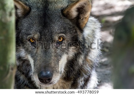 detailed portrait of a wolf's head with eyes watching and alert