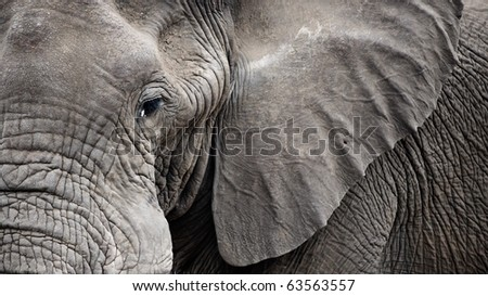 Detailed portrait of and old Elephant - stock photo