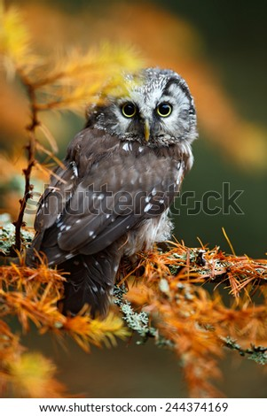 Detailed portrait of small Boreal owl in the orange larch forest in central Europe - stock photo