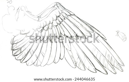 Detailed sketch of a bird's (dove) wing with part of the bone structure exposed.