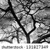 Detailed tree branches in Lake Manyara National Park - Tanzania, East Africa (black and white) - stock photo