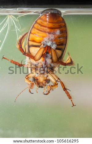 detailed underwater photo of adult water bug great diving beetle - bottom view - stock photo