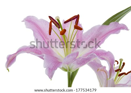 Detailed view of a pink day lily isolated on a white background