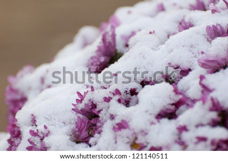 Detailed view of purple Chrysanthemums covered with a layer of snow. - stock photo