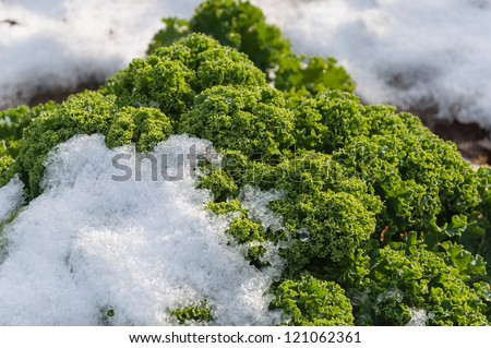 Detailed view of snowy borecole on the field in winter. - stock photo