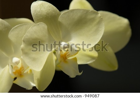 Detailed yellow orchid on the black bacground