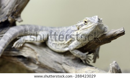 Details of a bearded dragon in captivity in a vivarium.