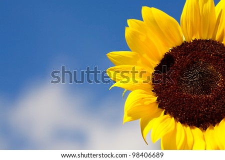 Details of a beautiful sunflower and against a summer blue sky. - stock photo