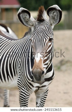 Details of a beautiful zebra in captivity.