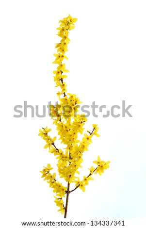 Details of a blossoming forsythia branch in spring isolated.