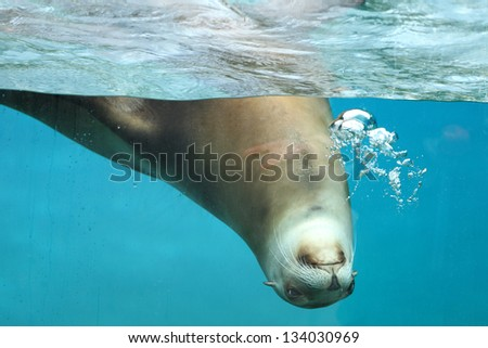 Details of a california sea lion swimming in captivity behind glass of aquarium.