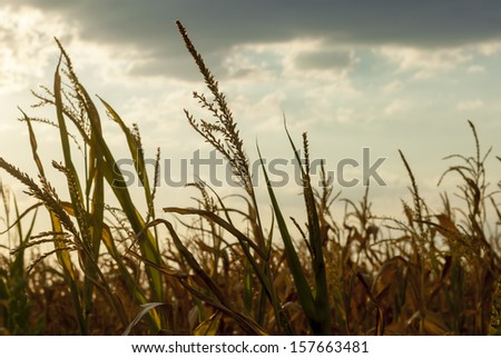 Details of a corn field in back light