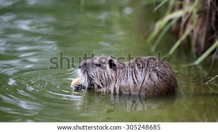 Details of a coypu in water, he is eating bread.