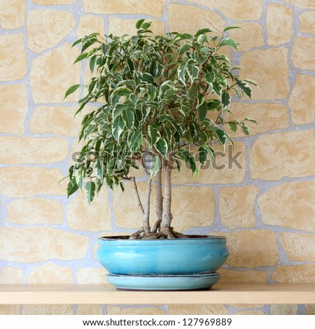 Details of a ficus benjamina or weeping fig in flowerpot