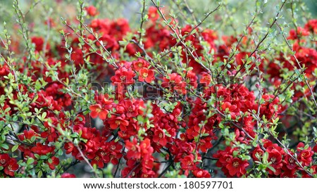 Details of a flowering japanese quince in spring.
