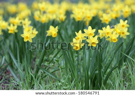 Details of a group of spring flowers, the jonquil or rush daffodil.