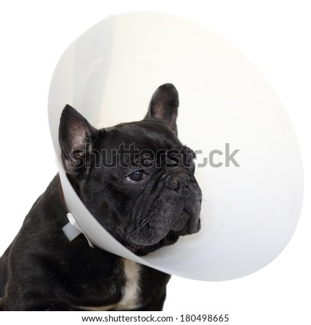Details of a mature french bulldog with elizabethan collar isolated on white background.