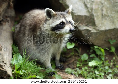 Details of a raccoon in captivity, the raccoon is sitting on grass.