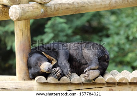Details of a sleeping sun bear in captivity.