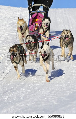 Details of a team of huskies in full action, heading towards the camera.