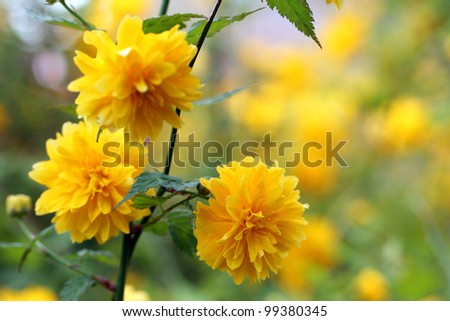 details of a yellow flowering plant, Kerria japonica pleniflora, double flower