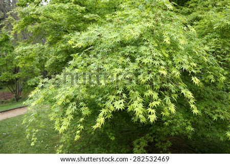 Details of an acer palmatum in a beautiful garden.