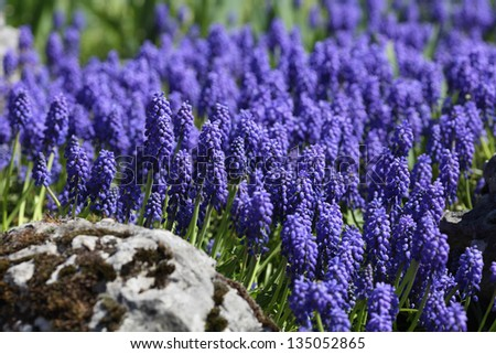 Details of grape hyacinth or muscari in an ornamental garden