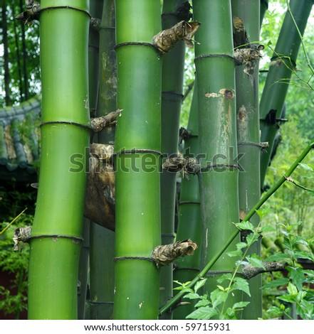 details of green bamboo : Bambusa sinospinosa McClure - stock photo