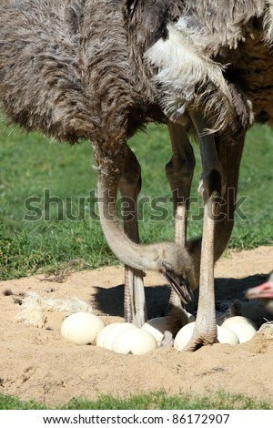 details of ostrich with eggs - stock photo
