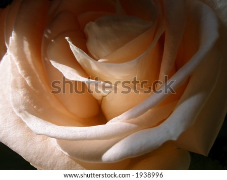 Details of pale pink rose. - stock photo