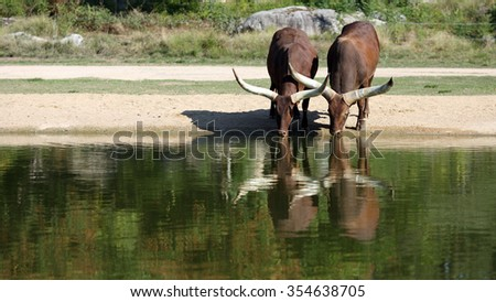 Details of two watusi drinking in a park with reflection.