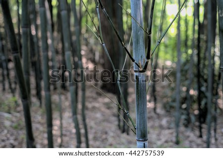Details on the bark and growth of a bamboo tree - stock photo
