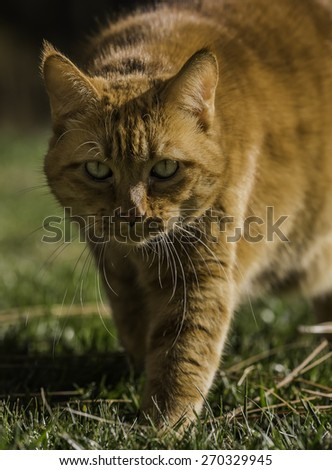 Determined Cat walking towards you - stock photo