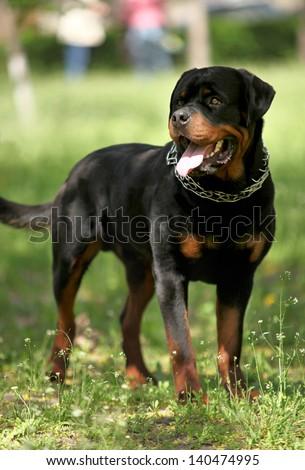 Deutsch Rottweiler Guard Dog - stock photo